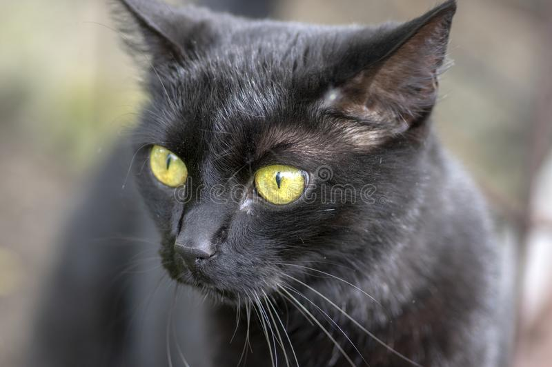 Czarnego kota kłamstwo w czekaniu w ogródzie, ciemna bestia z jasnozielonymi oczami, piękny zwierzę, szczegółu widoku portret obrazy royalty free