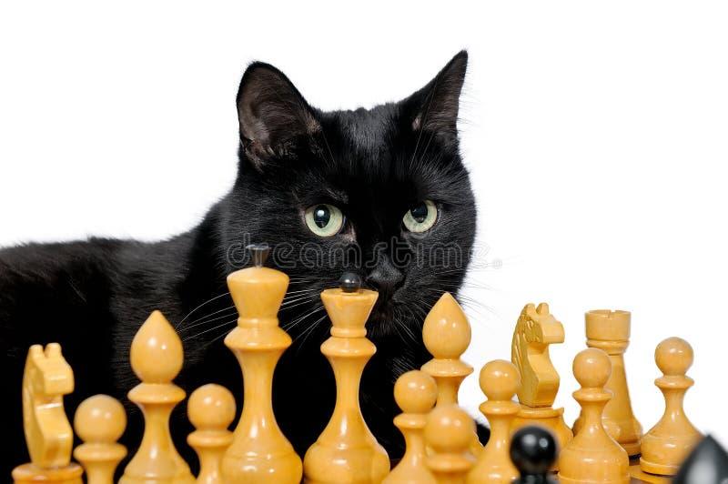 Czarnego kota lying on the beach na chessboard i patrzeć białe bierki zdjęcie stock