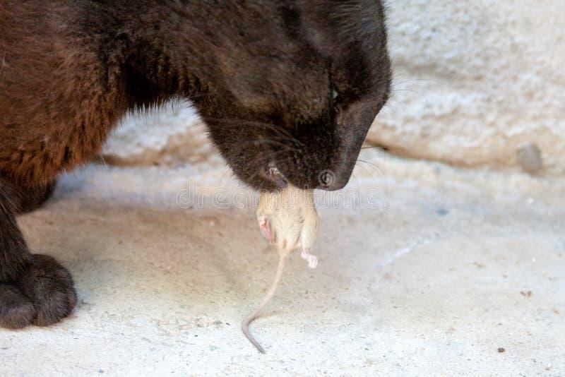 Czarnego kota mysz i łapa obraz royalty free