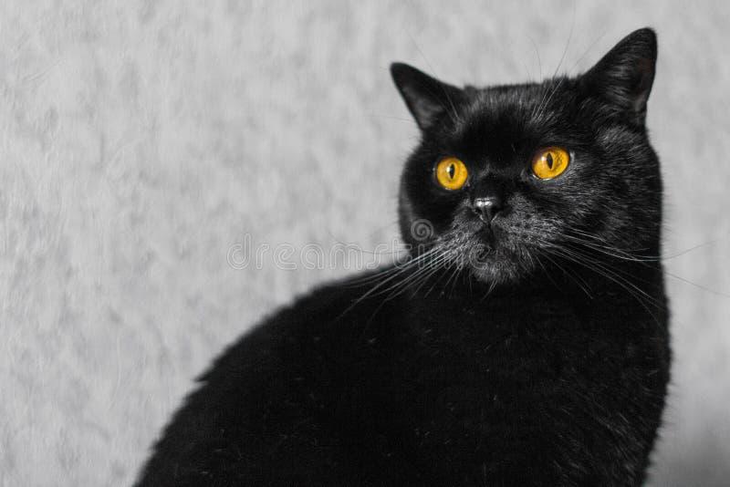 Czarnego kota trakenu szkocki prosty fotografia stock