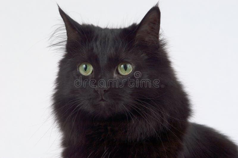czarnego kota z bliska obraz stock