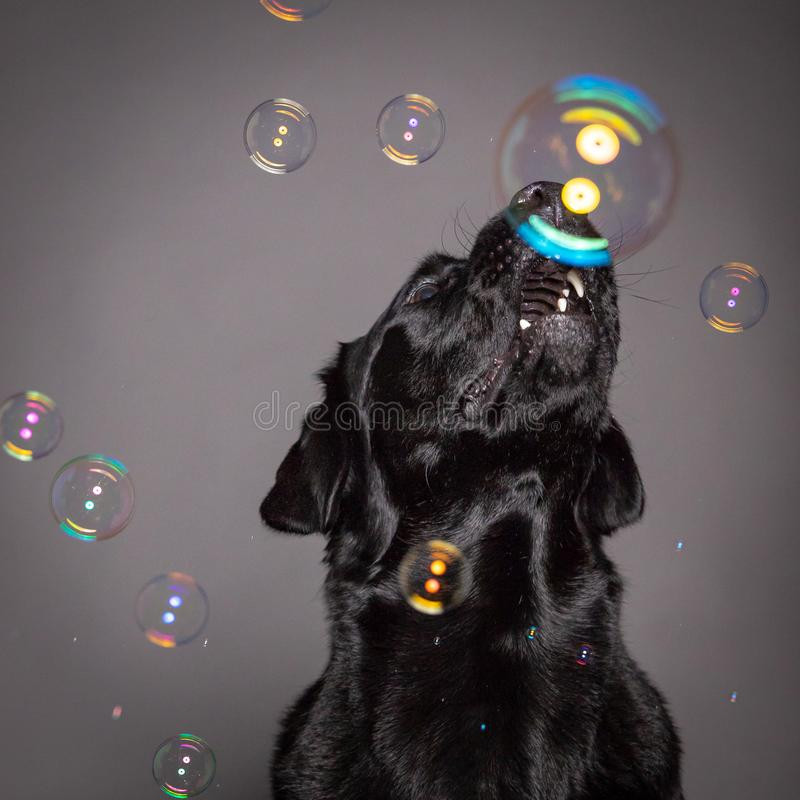 Czarnego labradora psi bawić się z mydlanymi bąblami w popielatym blackgrou fotografia royalty free
