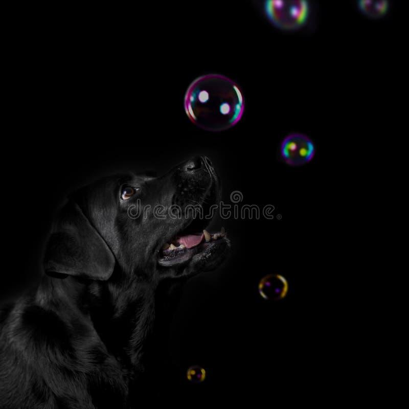Czarnego labradora studio strzelający z mydlanymi bąblami obrazy stock