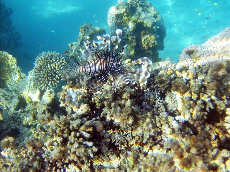 Czarnego lwa ryba w czerwonym morzu obrazy royalty free