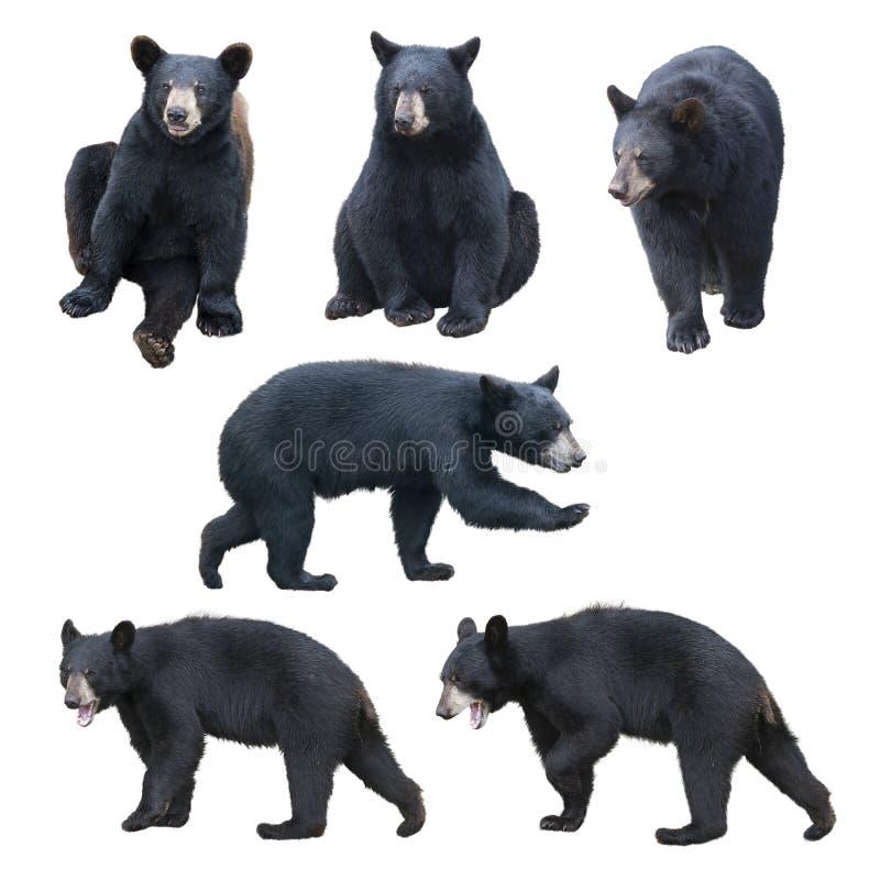 Czarnego niedźwiedzia kolekcja na białym tle obraz royalty free