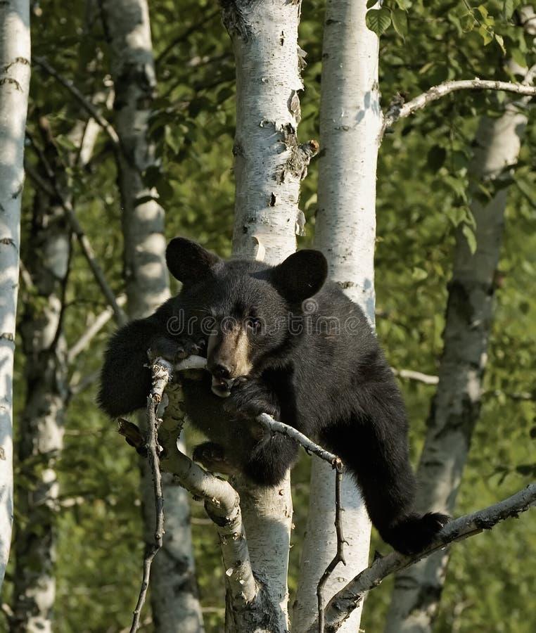 czarnego niedźwiedzia niemowlę zdjęcia stock