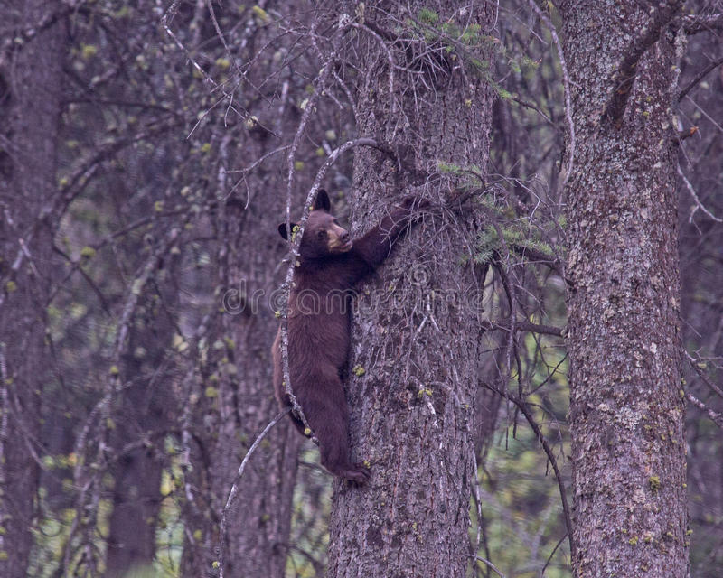 czarnego niedźwiedzia niemowlę obraz stock