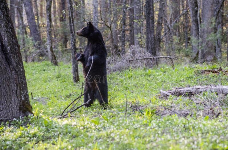 Czarnego niedźwiedzia stojaki na ona z powrotem iść na piechotę patrzeć wokoło fotografia stock
