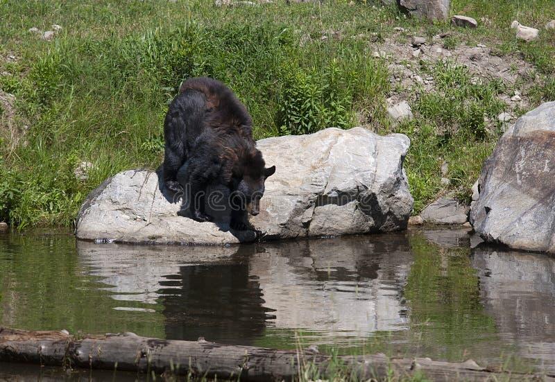 Czarnego niedźwiedzia Ursus americanus wchodzić do staw w łące w jesieni w Kanada zdjęcie stock