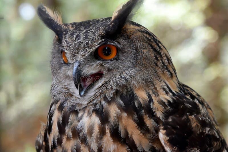 czarnego orła ciągnącego atramentu sowy ilustracyjny wektora zdjęcia royalty free
