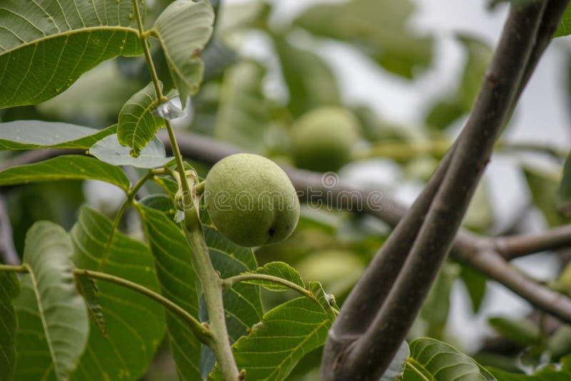 Czarnego orzecha włoskiego drzewa Juglans nigra z fotografią końcówka owoc r na gałąź zdjęcia stock