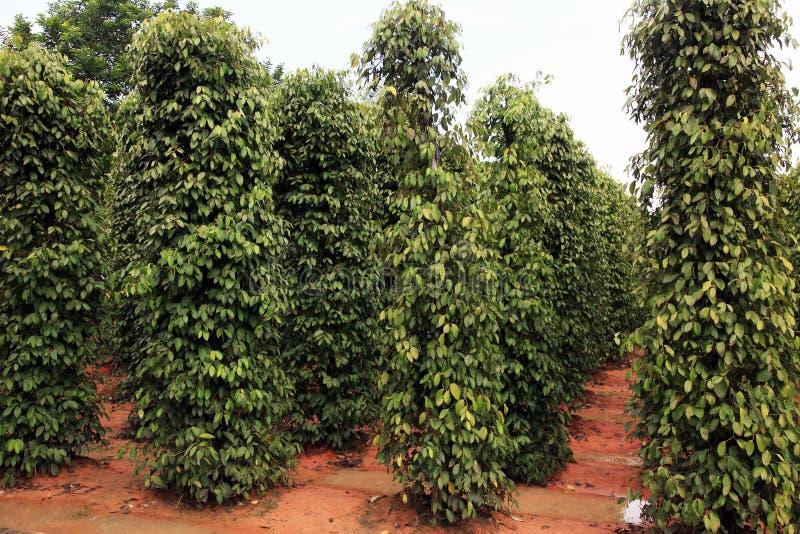 Czarnego pieprzu rośliny fotografia stock