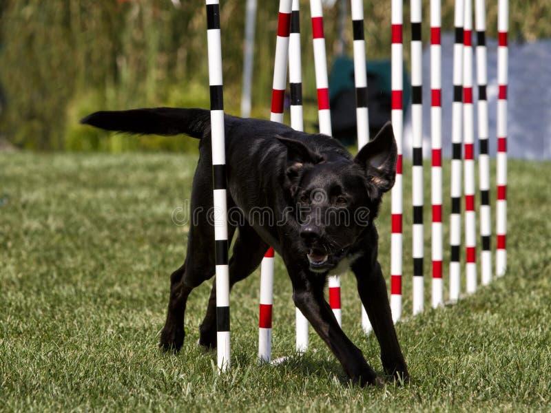 Czarnego psa Działająca zwinność Wyplata słupy zdjęcia royalty free