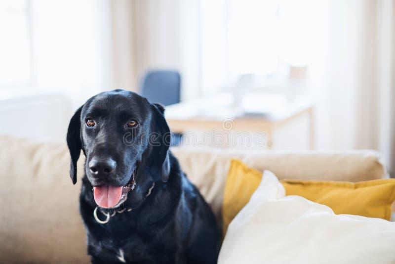 Czarnego psa obsiadanie na kanapie w domu Odbitkowa przestrzeń zdjęcie royalty free