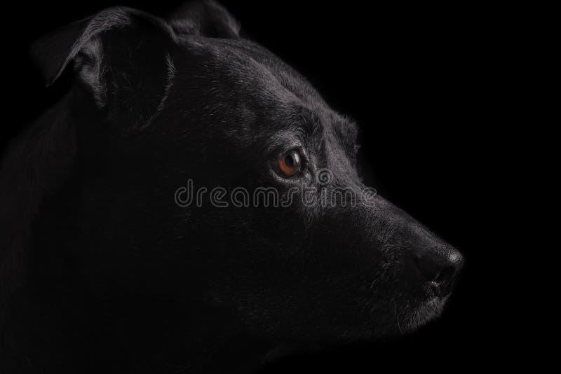 Czarnego psa portret obrazy royalty free