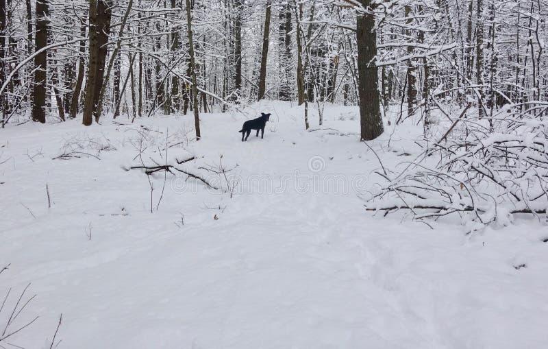 Czarnego psa pozycja w śnieżnej burzy w pustkowie lesie, obraz royalty free