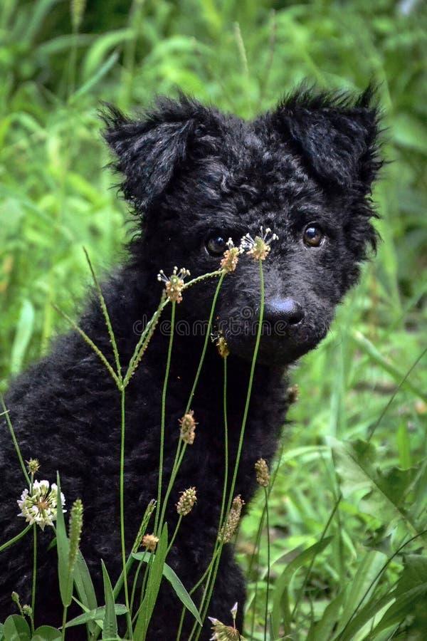 Czarnego psa sheepdog Chorwacki szczeniak zdjęcia royalty free