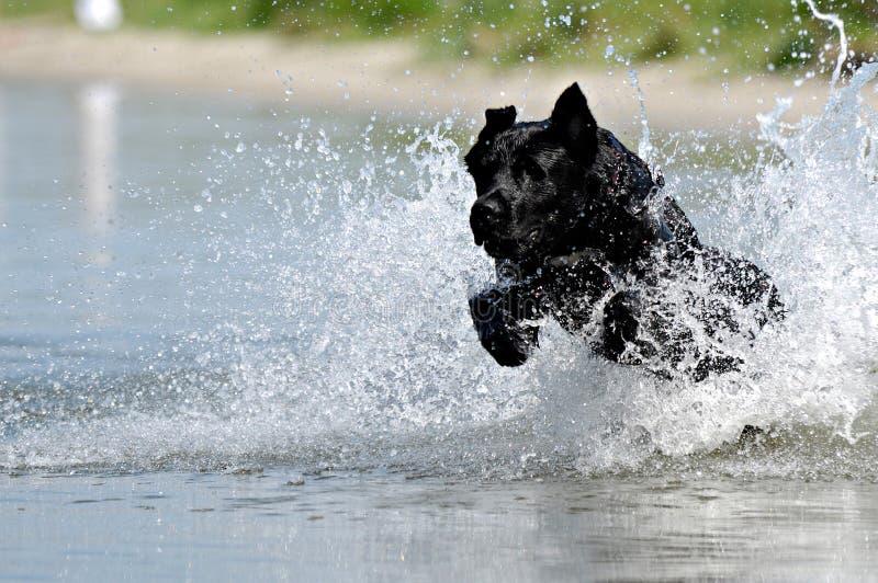 czarnego psa wody fotografia stock
