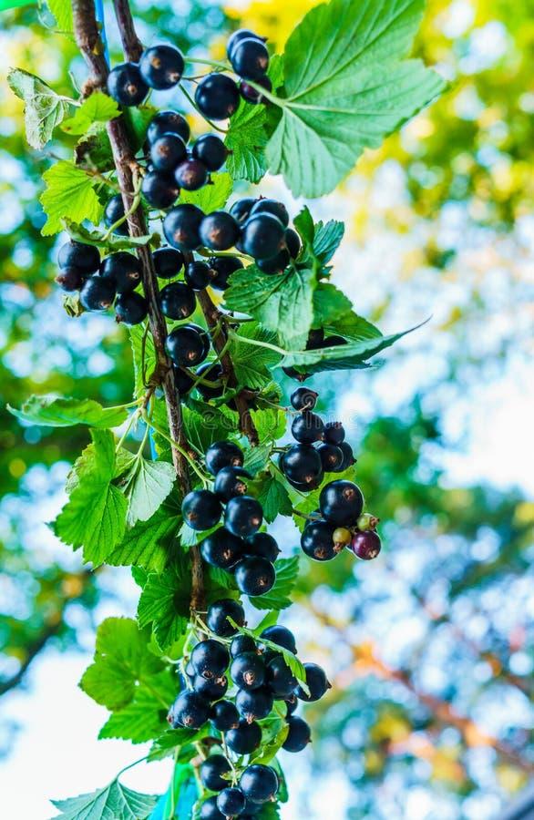 Czarnego rodzynku gałąź z jagodami w ogródzie zdjęcie royalty free