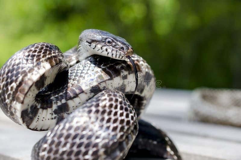 Czarnego szczura wąż coiled strajk, rosochaty jęzor zdjęcie royalty free