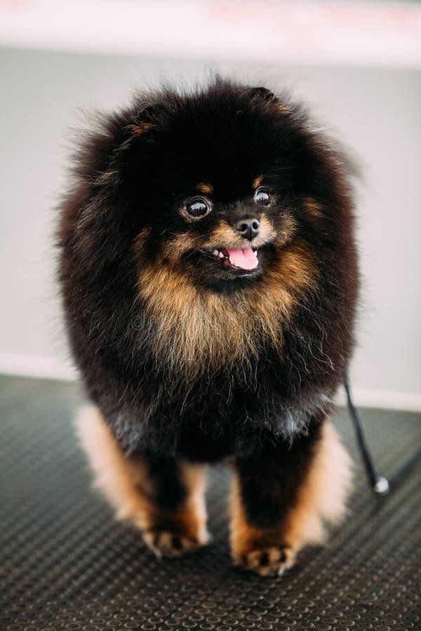 Czarnego Uśmiechniętego Pomorskiego Spitz Mały pies zdjęcia stock