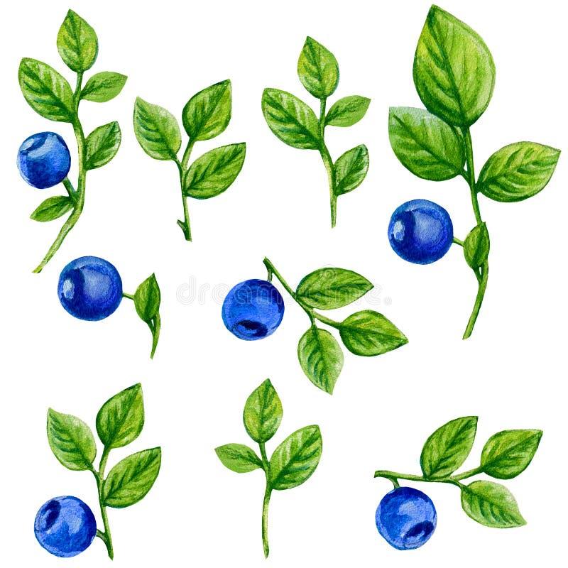 Czarnej jagody akwareli ilustracja odizolowywająca na białym tle, ręka rysujący obraz, projekta jagodowy element, Może używać royalty ilustracja