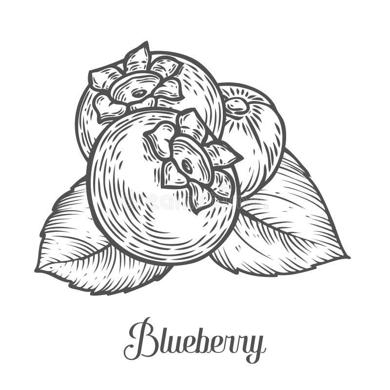 Czarnej jagody jagoda, owoc, liść, roślina Superfood organicznie jagoda Grawerująca ręka rysująca royalty ilustracja