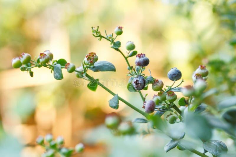 Czarnej jagody owocowy drzewo fotografia royalty free