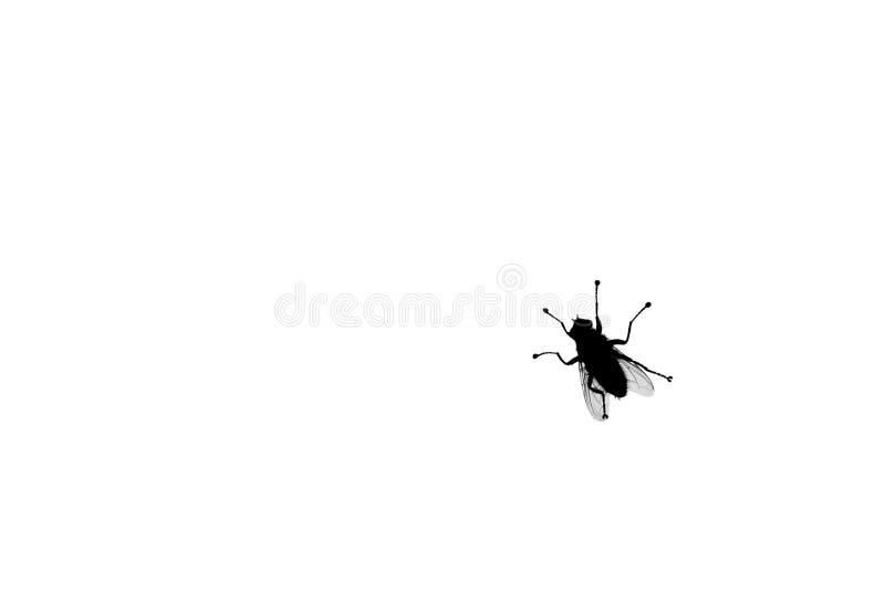 Czarnej komarnicy sylwetka na biały tło odizolowywającym zbliżeniu, dwuskrzydłe insekta bloodsucking projekt, ochrona przeciw ins zdjęcia stock