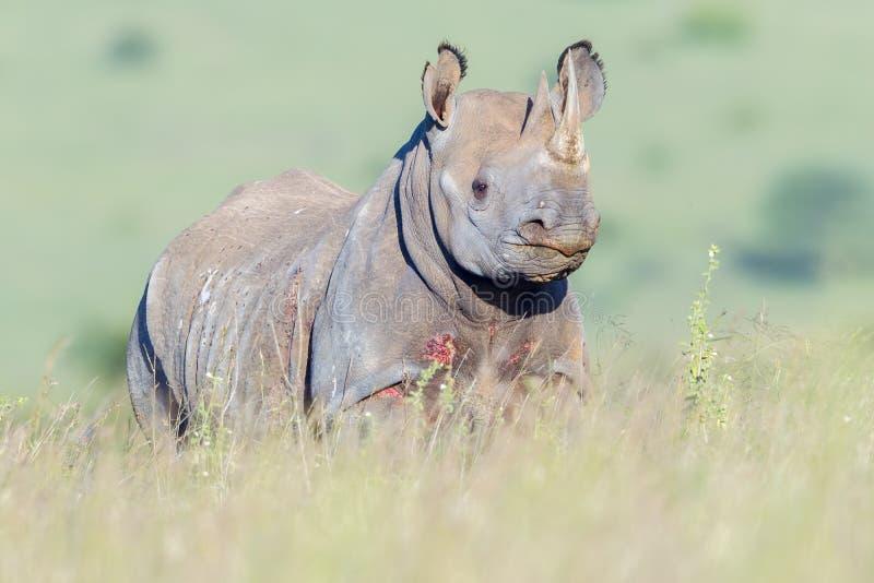 Czarnej nosorożec portret, Nairobia park narodowy, Kenja obrazy royalty free