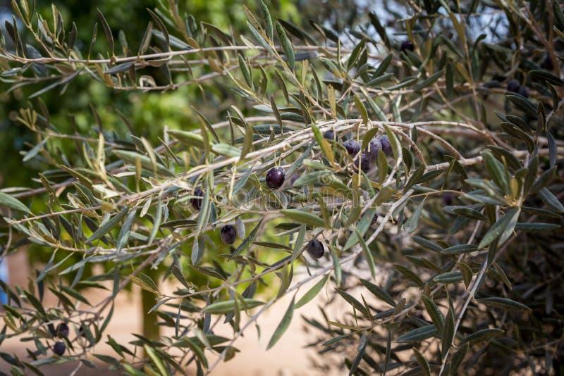 Czarnej oliwki owoc dojrzenie przy gałąź fotografia royalty free