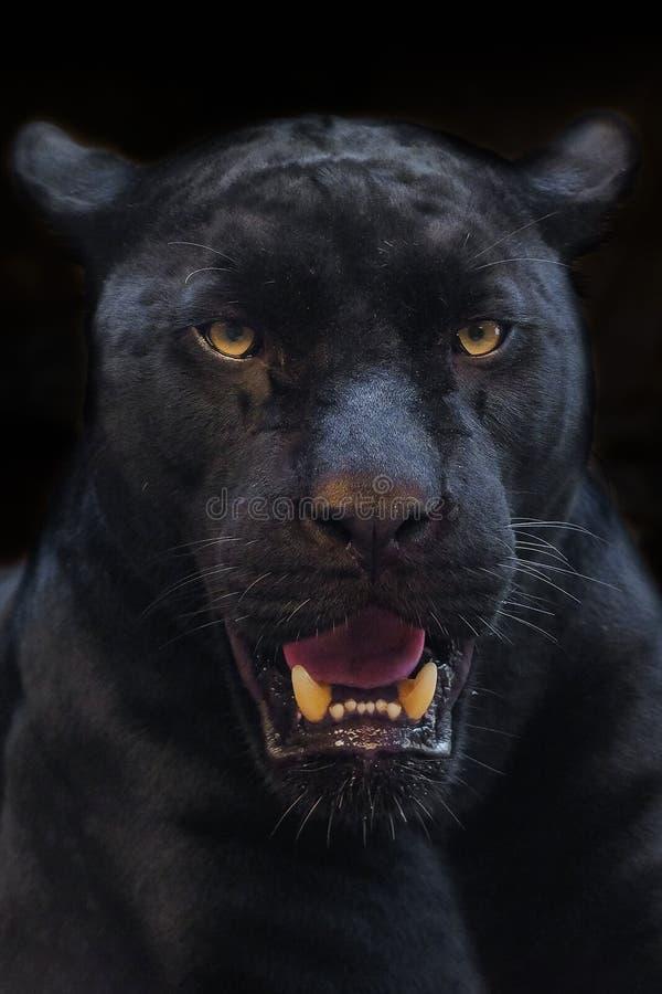 Czarnej pantery strzału zakończenie up zdjęcia royalty free