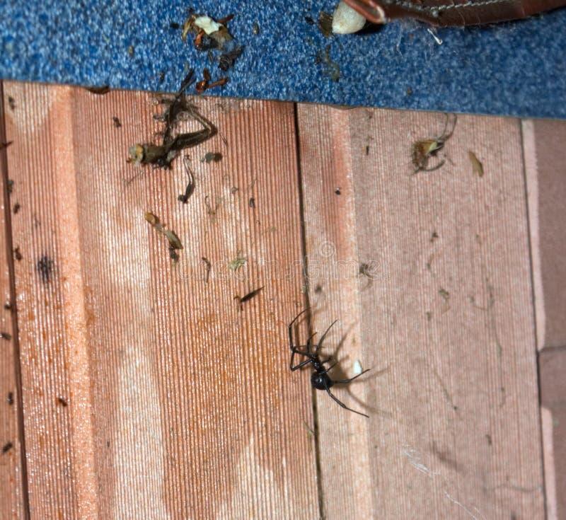 Czarnej wdowy Śmiertelny pająk i sieć zdjęcie royalty free