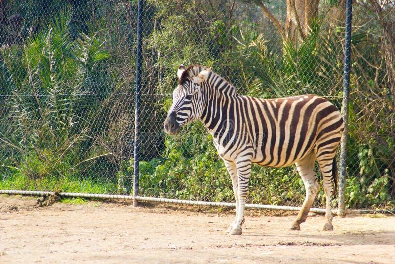 czarnej zdjęcia zebry biały zoo zdjęcie stock