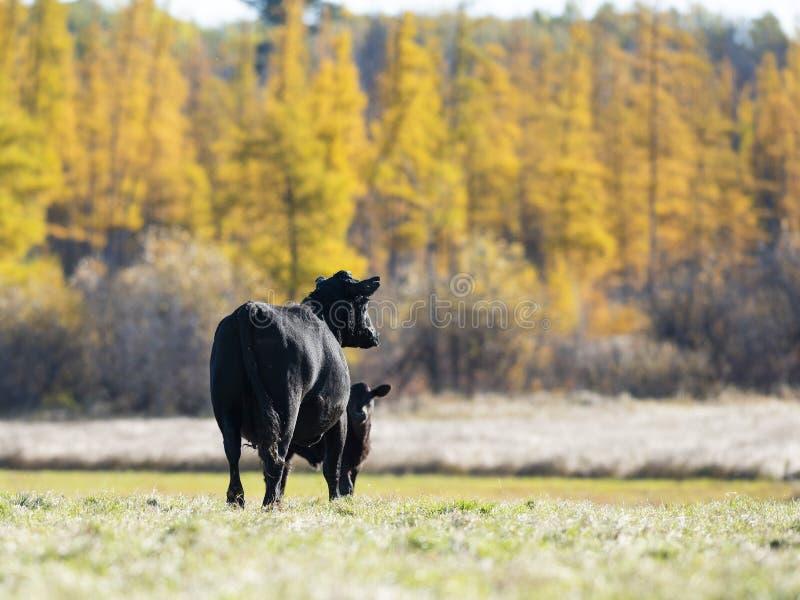 Czarni Angus bydło w paśniku w opóźnionej jesieni fotografia stock