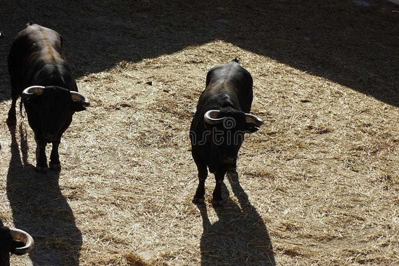 Czarni byki od bullring przed corrida od Vinaros, Hiszpania obraz royalty free