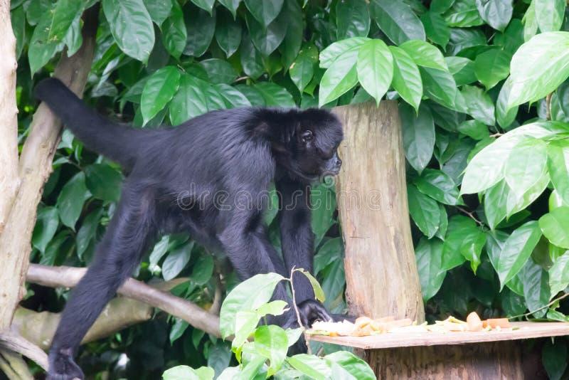Czarni gibony podczas gdy patrzejący dla jedzenia w lesie obraz royalty free