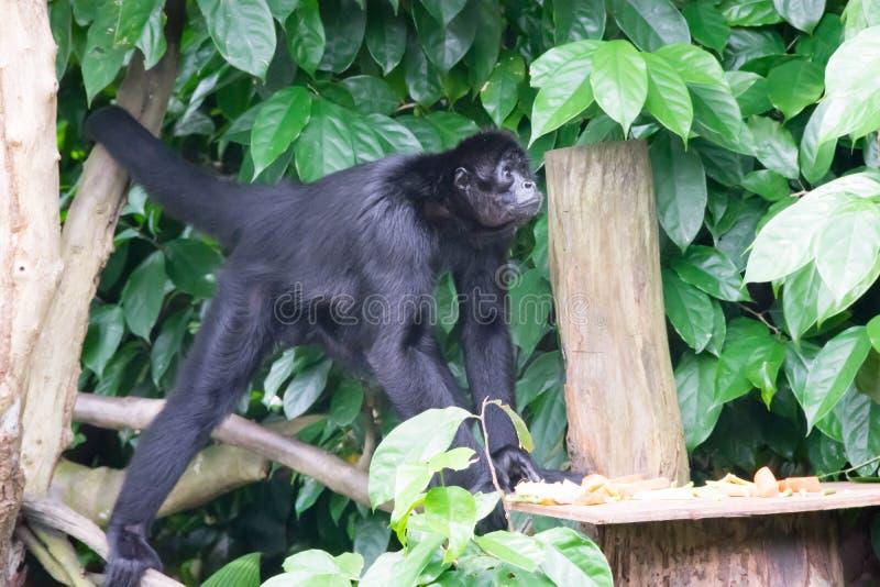 Czarni gibony podczas gdy patrzejący dla jedzenia w lesie obraz stock