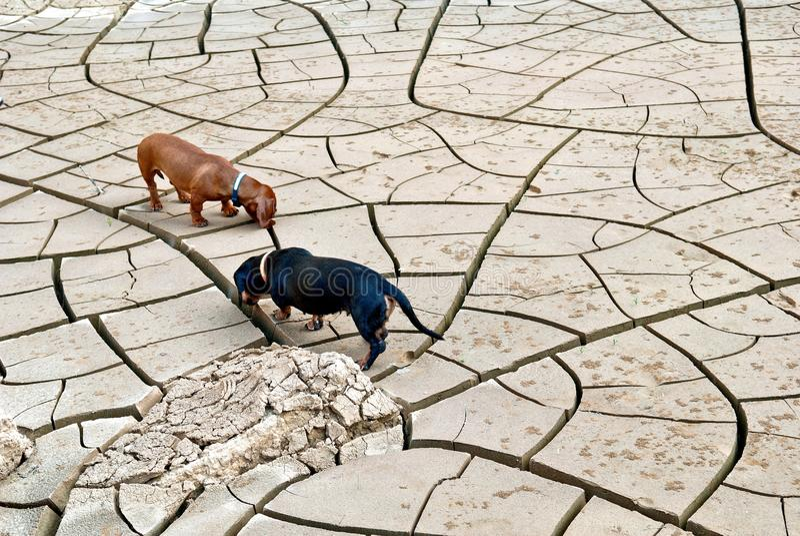 Czarni i brown jamników psy tropią w pustyni fotografia stock