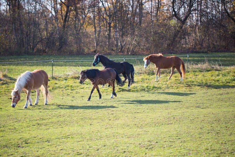 Czarni i brown konie na słonecznym dniu w automn zdjęcie royalty free