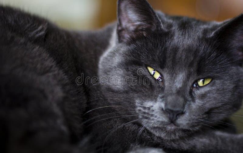 Czarni i Popielaci kotów oczy fotografia royalty free