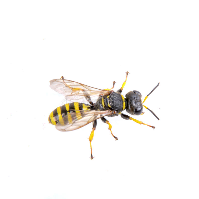 Czarni insekta whith koloru żółtego lampasy na białym tle obrazy royalty free