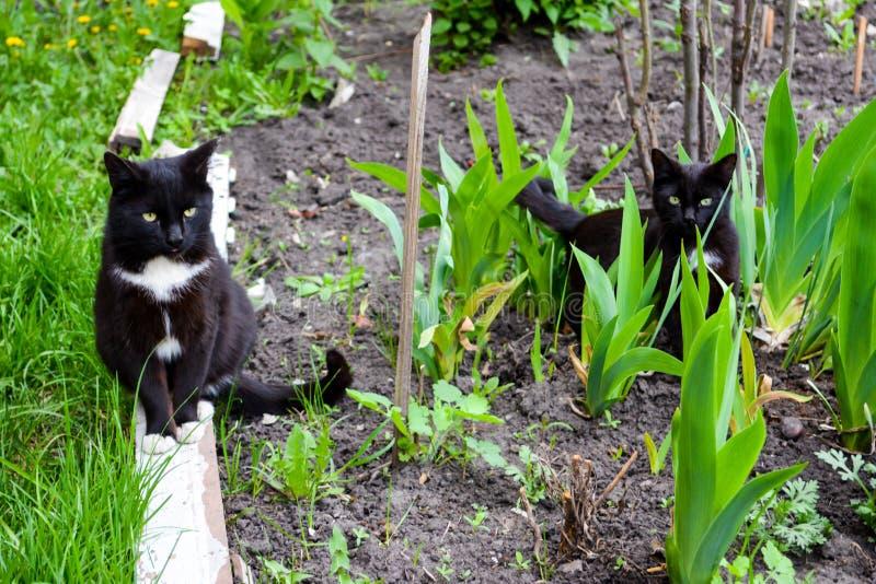 Czarni koty chodzi w ogródzie z żółtymi oczami obraz stock