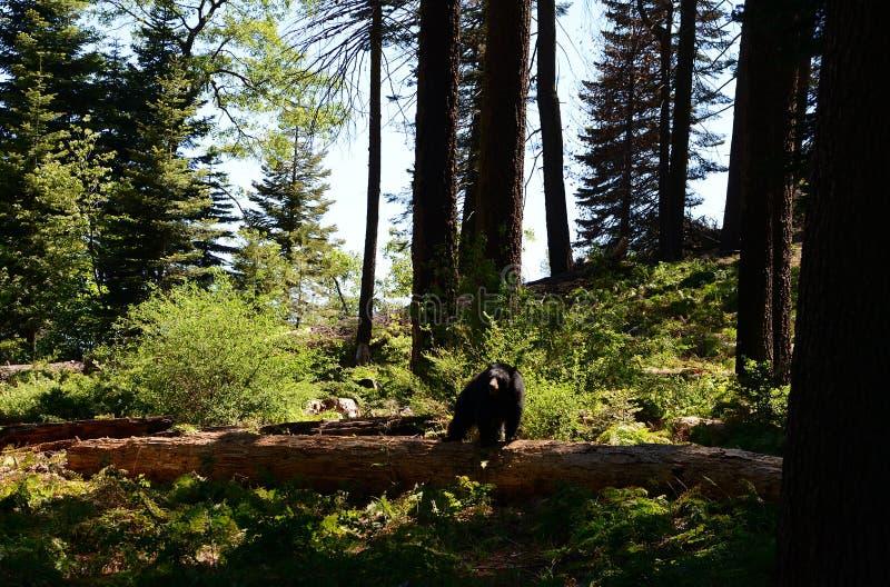 Czarni niedźwiedzie w sekwoja parku narodowym, Kalifornia obraz royalty free