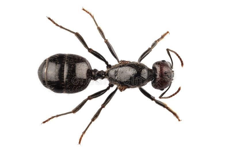 Czarni ogrodowi mrówka gatunki Lasius Niger zdjęcia royalty free
