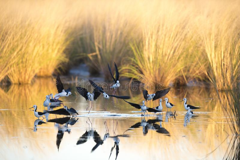 Czarni oskrzydleni stilts, Karumba, Queensland obrazy royalty free