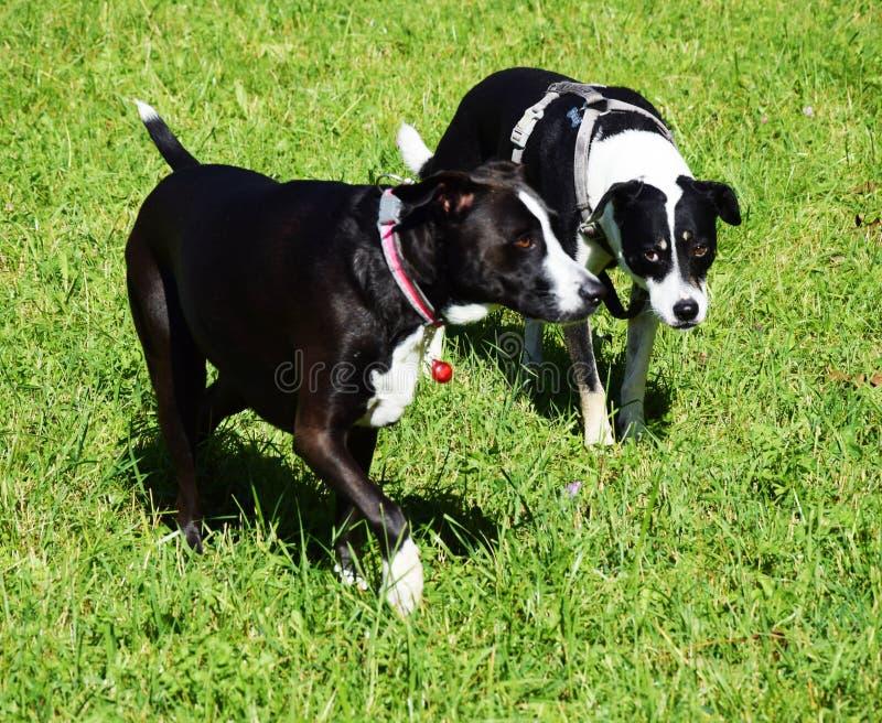 Czarni psy z białymi punktami w trawie obraz stock