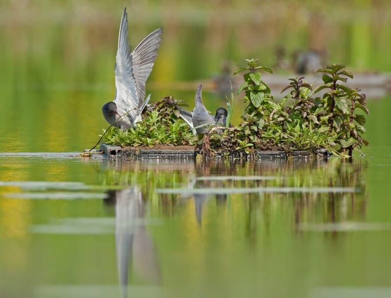 Czarni terns (Chlidonias Niger) zdjęcie royalty free