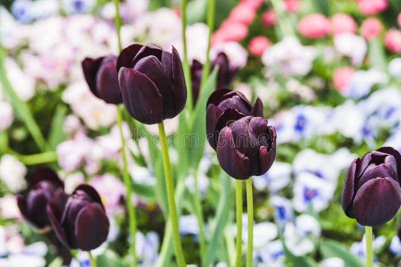 Czarni tulipany na tle kwiatonośni kwiatów łóżka obrazy stock