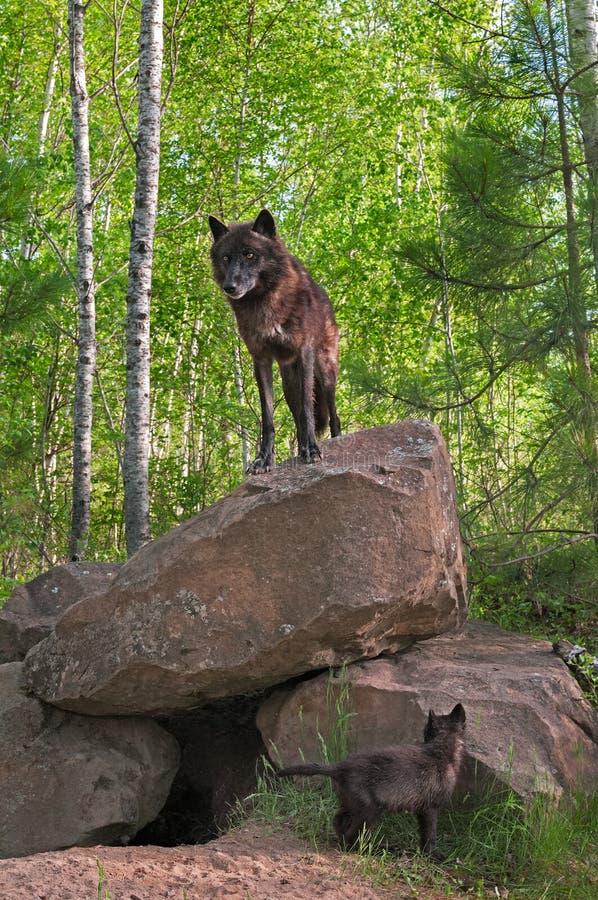 Czarni Wilczy stojaki na górze meliny - Szczeni się Below (Canis lupus) zdjęcia stock